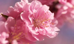 Prunus mume blossoms
