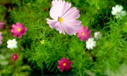 Pink cosmos rising to the light